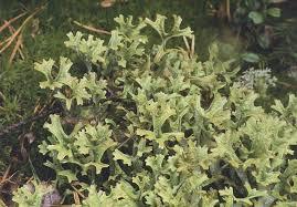 http://www.funet.fi/pub/sci/bio/life/lichens/cetraria/index.html